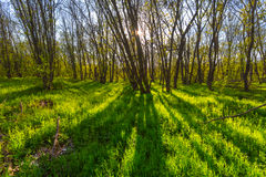 Forest glade in a rays of sun Stock Photo