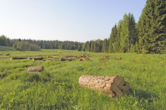 Forest glade with sawn logs royalty free stock photo