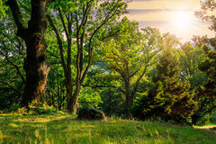 Forest glade in  shade of the trees at sunset Royalty Free Stock Photography