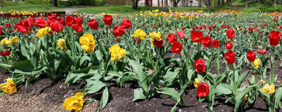 Forest glade with the spring blossoming fine tulips near the aba Stock Image