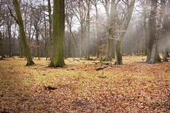 Forest Glade with Sun Rays. And Foliage on Ground Stock Photography