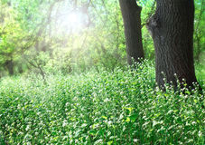 Forest glade sunlit Royalty Free Stock Photos