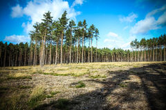 Forest glade. Sunny forest glade with big pines Royalty Free Stock Photography