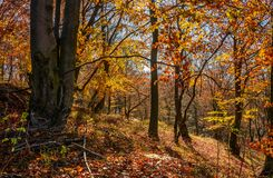 Forest in golden brown foliage on sunny day. With beautiful warm weather Stock Photography