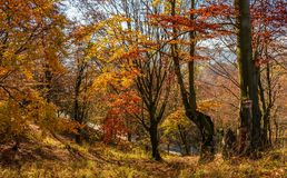 Forest in golden brown foliage on sunny day. With beautiful warm weather Stock Image