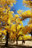 Forest with golden leaves in autumn Royalty Free Stock Photo