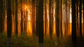 Forest with golden sunset, sun rays shinning through dense forest royalty free stock photography