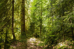 Forest in the gorge Royalty Free Stock Image