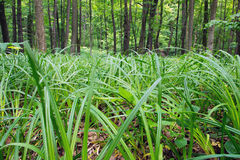 Forest with grass on the foreground Royalty Free Stock Photo