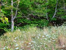 Forest Grass and Wildflowers. Dense ground cover, long grass and wild flowers, in a mountain forest. An area once used for subsistence agriculture and farming Stock Photo