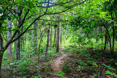 Forest with green leafs. Summer forest with green leafs Pathway through the Summer forest Trees Woods. Environment concept Stock Image