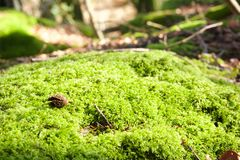 Forest with green moss carpet. Morning views of the Norman forest and its carpet of dead leaves and green moss Stock Image