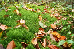 Forest green moss covered with yellow leaves Royalty Free Stock Photo
