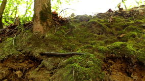 Forest green moss nature. Sunny forest ground in early spring and summer stock footage