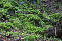 Forest green moss vegetation Stock Image