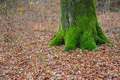 Forest and green mossy tree trunk Royalty Free Stock Photos