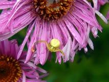 Forest Green pająk na asterów kwiatach Zdjęcia Royalty Free