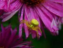 Forest Green pająk na asterów kwiatach Zdjęcie Stock