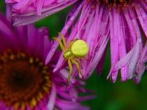 Forest Green pająk na asterów kwiatach Fotografia Royalty Free