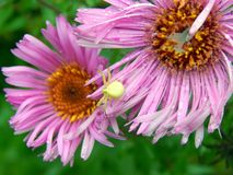 Forest Green pająk na asterów kwiatach Zdjęcie Royalty Free