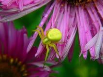 Forest Green pająk na asterów kwiatach Fotografia Stock