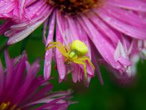 Forest Green pająk na asterów kwiatach Obrazy Royalty Free