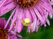 Forest Green pająk na asterów kwiatach Obrazy Stock