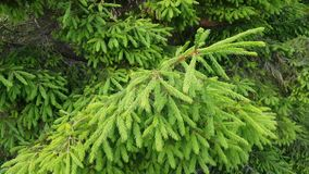 Forest green spruce branch in motion stock video footage
