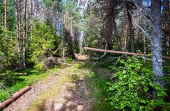 Forest with green spruces and pine trees in summertime. Wil Stock Photography