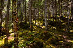 Forest in the Gros Morne Royalty Free Stock Image