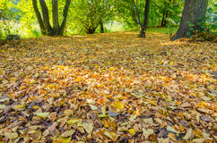 Forest ground covered with autumn leaves Royalty Free Stock Images