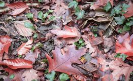 Forest ground covered with dead colorful leaves. France Stock Image