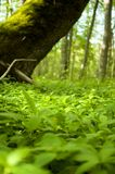 Forest with ground covered with small pants royalty free stock photography