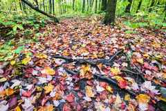 Forest ground is fully covered by multicoloured fall maple leave Royalty Free Stock Photography
