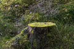 Old moss-grown tree stump Stock Images