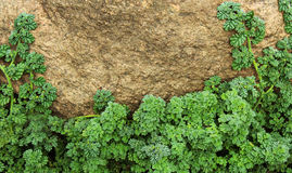 Forest ground plants. With rock close up photo stock photography