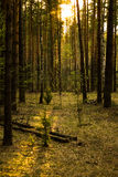 Forest. Ground with sun and moss Royalty Free Stock Photos