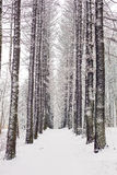 Forest grove in winter, with high snow-covered trees Royalty Free Stock Photos