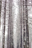 Forest grove in winter, with high snow-covered trees Stock Image