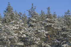 Forest guards. Beautiful pine trees on a background of blue sky. Russia Royalty Free Stock Images