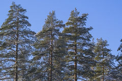 The forest guards. Beautiful pine trees on a background of blue sky. Russia Royalty Free Stock Photography