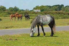 Forest Hampshire England novo Reino Unido com os pôneis selvagens que pastam Fotografia de Stock Royalty Free