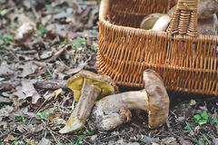 Forest harvest. Fresh white porcini mushrooms. Royalty Free Stock Photo