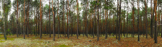 Forest header. Panoramic photo of pine woods in the forest. Can be used for web site header Royalty Free Stock Photography