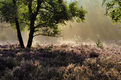 Forest and Heather. In the Sallandse Heuvelrug National Park Royalty Free Stock Photo