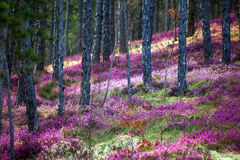 Forest heather Stock Photography