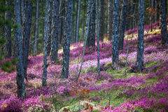 Forest heather Royalty Free Stock Image