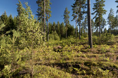 Forest and heathland Royalty Free Stock Photography