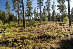 Forest and heathland Royalty Free Stock Images
