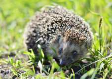 Forest hedgehog in the grass Royalty Free Stock Photos